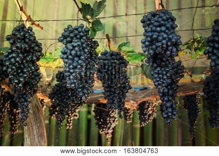 Ripe grapes hanging on tree display in food festival stock photo