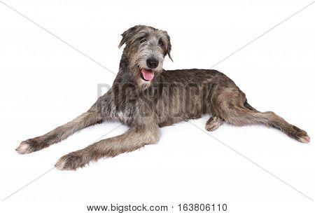 Irish wolfhound dog (two years old) isolated on white background