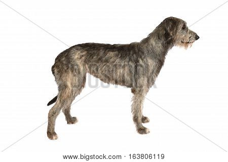Two years old Irish wolfhound dog isolated on white background