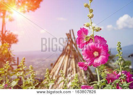 pink hollyhock flower beautiful in garden blur background and flare