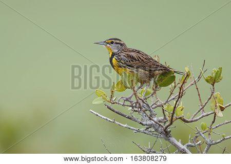 Eastern Meadowlark Perched In A Shrub - Florida