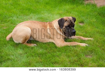 Closeup portrait of Little puppy (age five months) breed South African Boerboel (South African Mastiff)