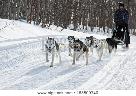 KAMCHATKA REGION RUSSIAN FEDERATION - FEBRUARY 5 2012: Male musher drives dog sledding (dog sled) on snowy road in winter forest on Kamchatka Peninsula (Far East Russia).