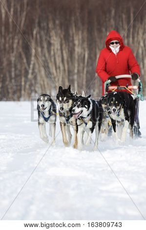 KAMCHATKA PENINSULA RUSSIA - FEBRUARY 5 2012: Woman musher in red clothes drives dog sledding (dog sled) on snowy road in winter forest on Kamchatka Region (Russian Far East).