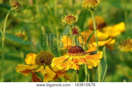 Flower, Garden, Helenium,  Hybrid, July, Perennial, Summer, Sunflower, Perennial