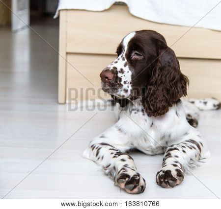 English Springer Spaniel puppy dog lying on the floor