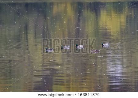 Nile geese in the Danube with shadowplay colorful water
