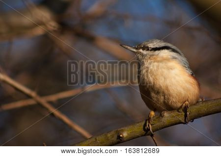 Nuthatch On A Branch.