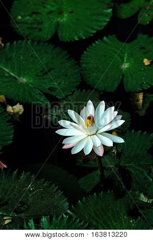 Lotus Flower Or Waterlily Among Green Leaves In Deep Water