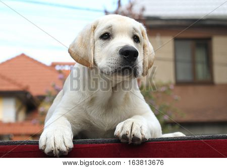 Little Cute Labrador Puppy On A Red Background