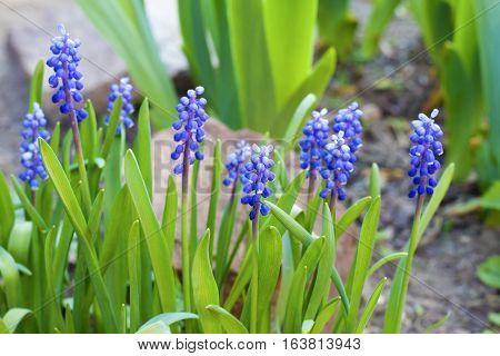 The Grape hyacinth (Muscari armeniacum) in spring