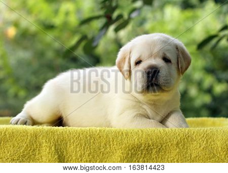 Little Labrador Puppy On A Yellow Background