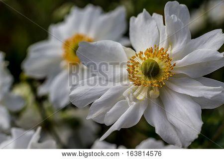 Anemone, Japonica-Hybride, `Whirlwind`, Garden, perennials, white, autum, summer, flower