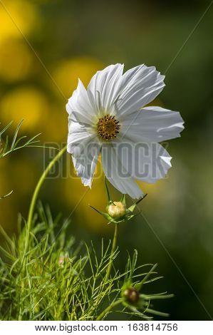 Flower, white, garden, august, summer, cosmea, morningsun
