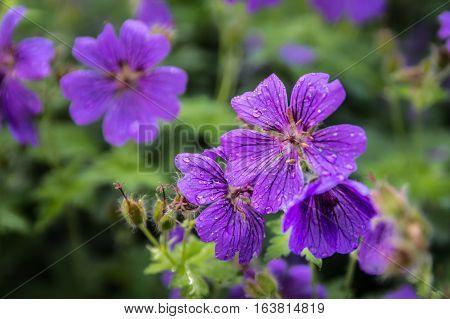 flower, waterdrops, garden, perennials, nature, summer, june