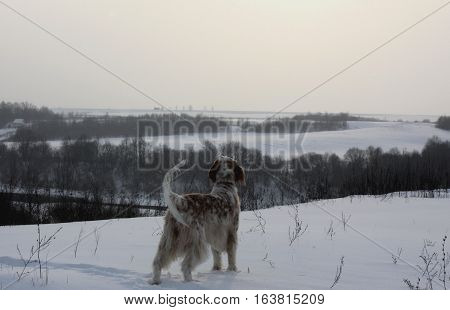 Winter wonderland landscape: furry spotty white big dog of hunting breed - english setter - staying on the mountain full of white snow on grey sky and forest background