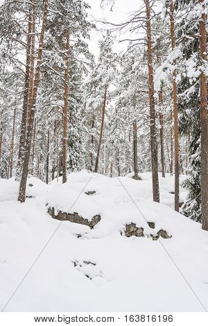 Tall pine trees in snowy forest at winter