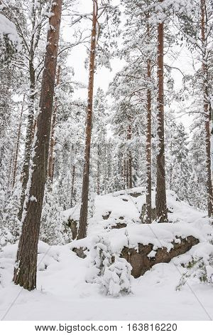 Tall pine trees in a snowy forest at winter