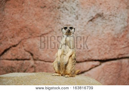 a picture with animals. mongoose. Meerkats are beings who sit idle. Meerkats are essentially a picture.