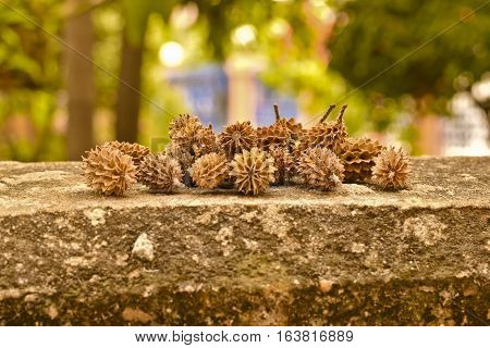 Dry pine seeds on concrete wall, dry pine cones