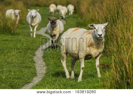 Sheeps In Scottish Highlands
