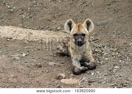 Spotted hyena cub on the side of road in kruger national park