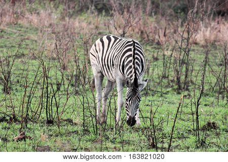 Burchell's zebra in Hluhluwe Umfolozi Game Reserve