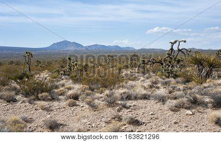 Mojave Desert Cactus