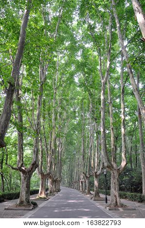 Historic tree-lined road near Xiaoling Mausoleum, Nanjing, Jiangsu, China. Ming Xiaoling Mausoleum is one of the Imperial Tombs of the Ming and Qing Dynasties, which is UNESCO World Heritage Site.