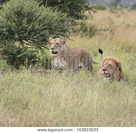 African lion's looking at antilope in the distance
