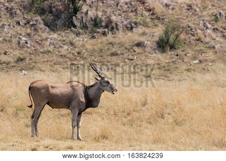 Eland (Tragelaphus oryx) in the rhino & lion nature reserve