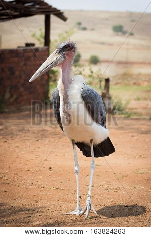 Marabou Stork (Leptoptilos crumenifer) closeup portrait full body