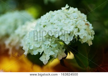 White hydrangea flower shrub or climbing plant with rounded flattened flowering heads of small florets in a summer season garden