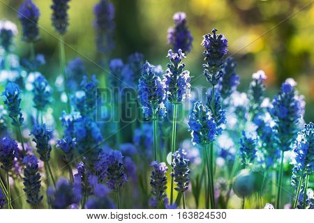 Beautiful Violet Flowers.little summer flower. Lavender Flower in the garden