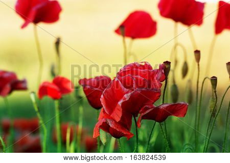 Close up poppy head. red poppy. Red poppy flowers field close up. Red poppy on green weeds field.