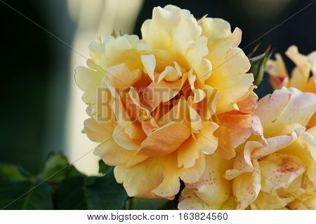 Beautiful blossoming rose flower in a garden. Closeup view of a beautiful yellow rose