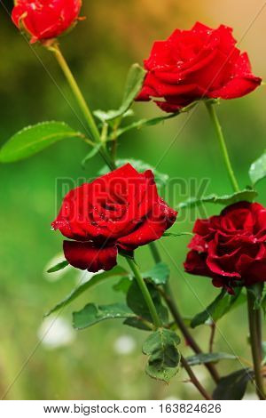 Beautiful blossoming rose flower in a garden. Close-up of garden rose. red roses with water drops