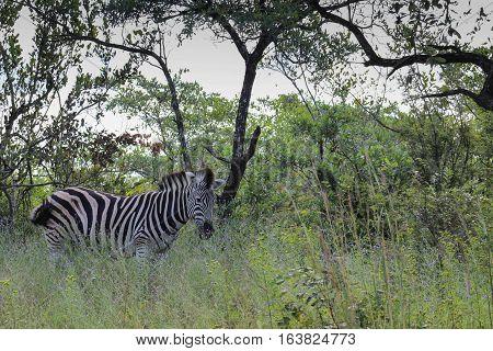 Plains zebra [Equus quagga] in kruger national park
