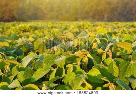 Close up photo of a soybean field