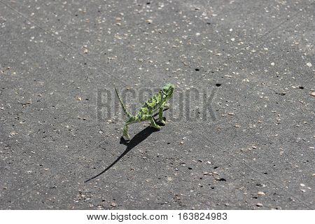 Flap necked chameleon [Chamaeleo dilepis] crossing road