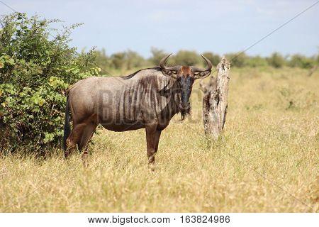Wildebeest [Connochaetes] standing in the morning sunlight