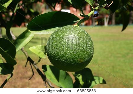 Unripe green oranges on a branch.Orange on a branch