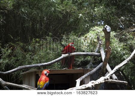 Scarlet macaws perched near a bird house