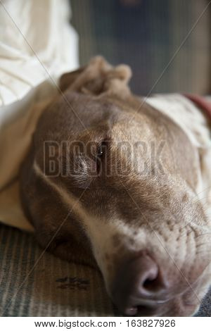 Close up of a bird dog resting indoors on couch