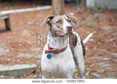 Bird dog outside looking at the sky