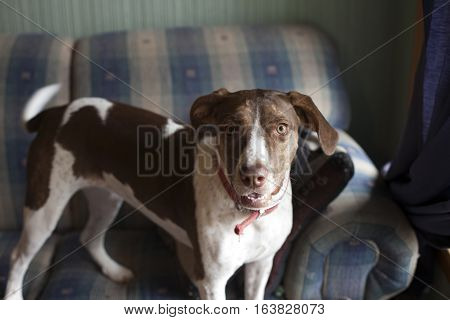 Bird dog standing on a couch inside