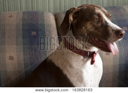 Content bird dog sitting indoors on couch
