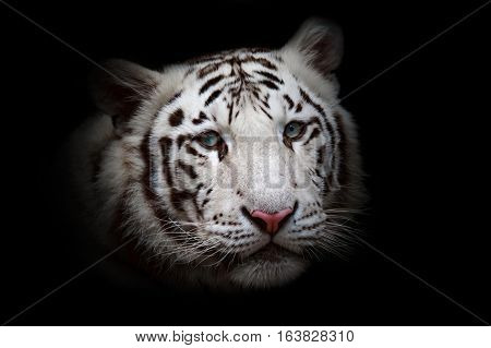 White tiger on black background watching on spoil.