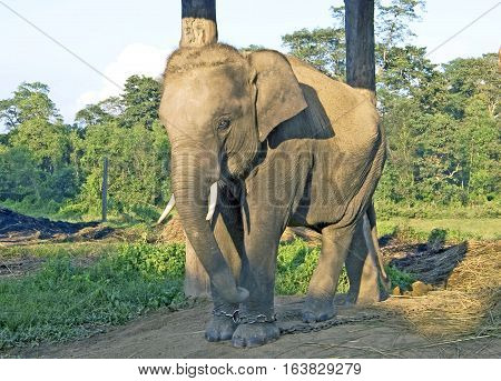 Elephant in the farm at Chitwan, Nepal