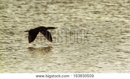 Indian cormorant in Arugam bay lagoon, Sri Lanka ;specie Phalacrocorax fuscicollis family of Phalacrocoracidae
